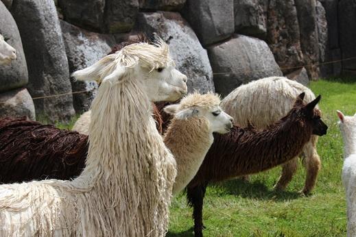 ボリビア・ペルー旅行:クスコ サクサイワマン アルパカ 横向き