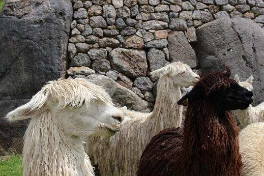 ボリビア・ペルー旅行:クスコ サクサイワマン アルパカ 横向き3
