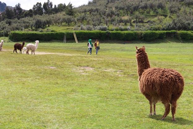 ボリビア・ペルー旅行:クスコ サクサイワマン アルパカ 後姿