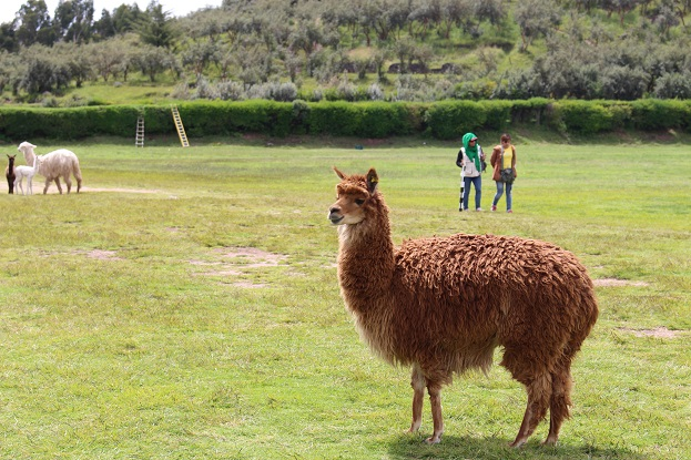 ボリビア・ペルー旅行:クスコ サクサイワマン アルパカ