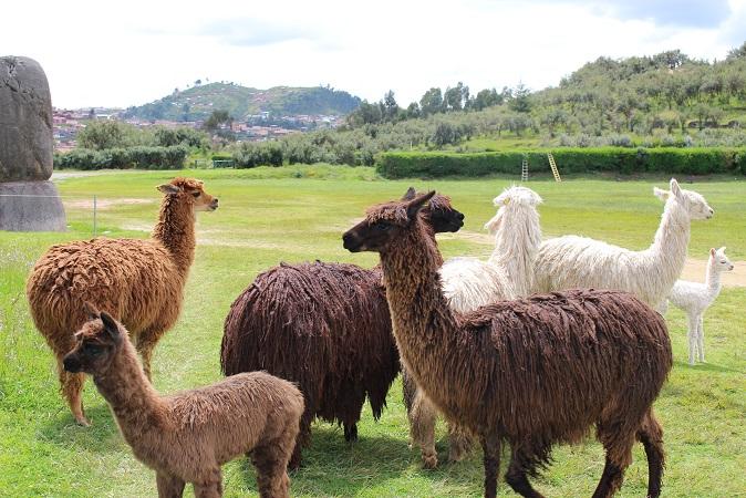 ボリビア・ペルー旅行:クスコ サクサイワマン アルパカ3