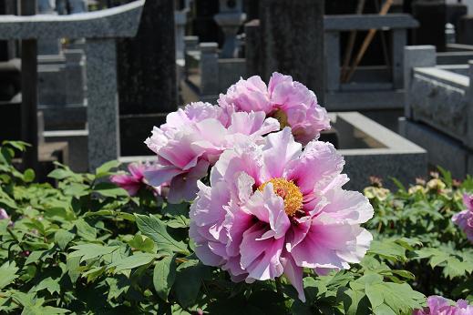 立岩寺:ぼたん 薄ピンク