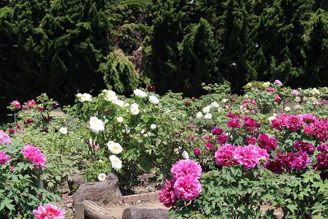 立岩寺:ぼたん園