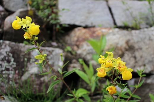 ボリビア・ペルー旅行:マチュピチュ 黄色い花