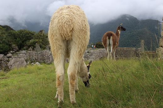 ボリビア・ペルー旅行:マチュピチュ遺跡 アルパカ