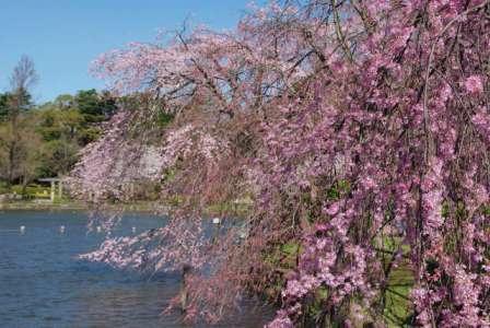 千葉公園のしだれ桜2