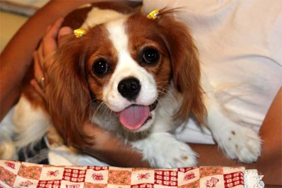 ヒート 避妊手術 犬