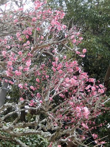 2014.2.23 高蔵寺の梅(視察) 005