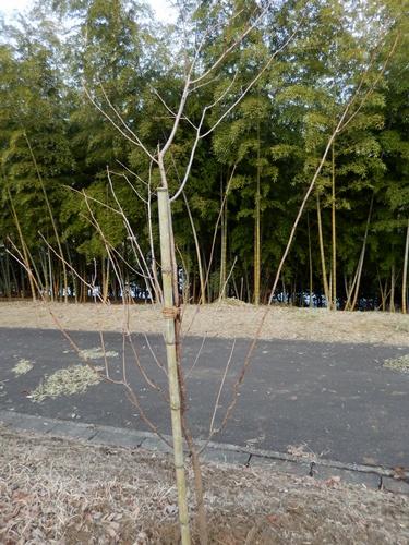 2014.2.24 アカデミア公園の桜(苗木) 011