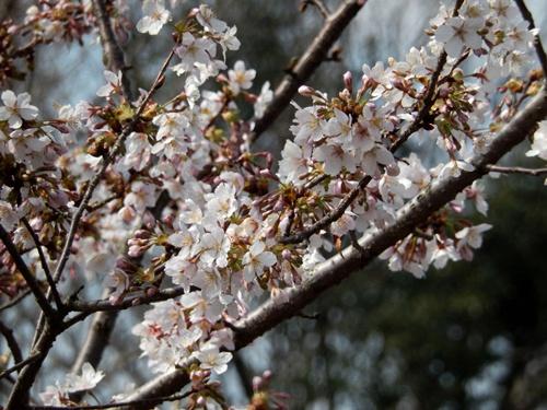 2014.3.9 鎌倉フラワーパーク (玉縄桜) 032 (8)