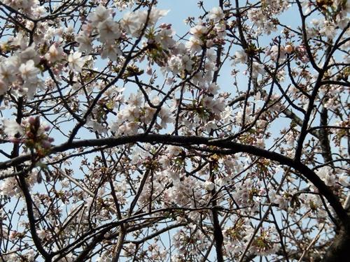 2014.3.9 鎌倉フラワーパーク (玉縄桜) 032 (9)