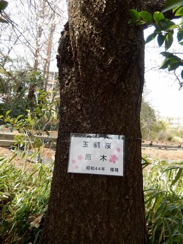 2014.3.9 鎌倉フラワーパーク (玉縄桜) 032 (11)