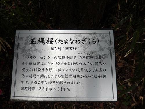 2014.3.9 鎌倉フラワーパーク (玉縄桜) 032 (10)