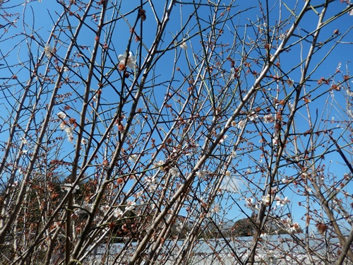 2014.3.21 お彼岸 (野菜の花) 034 (2)