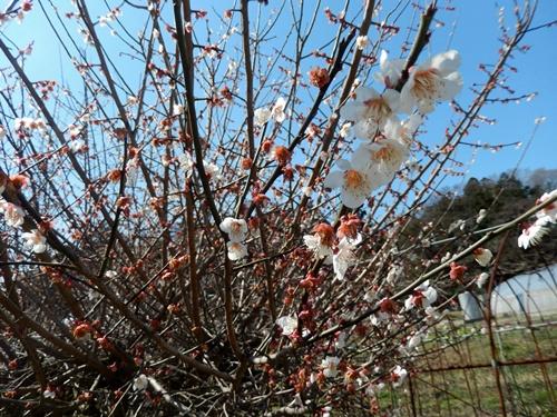 2014.3.21 お彼岸 (野菜の花) 034 (1)
