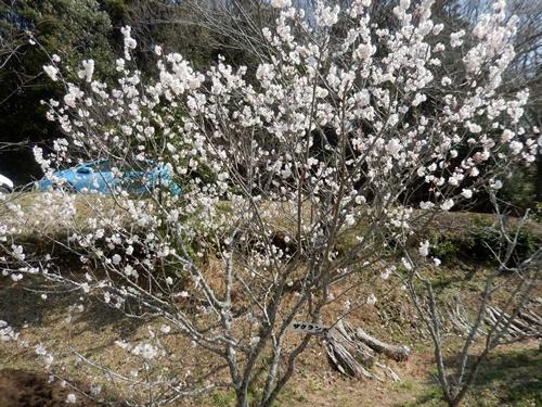 2014.3.18 河津桜 (桜色) 007 (1)