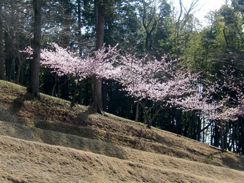 2014.3.18 河津桜 (桜色) 007