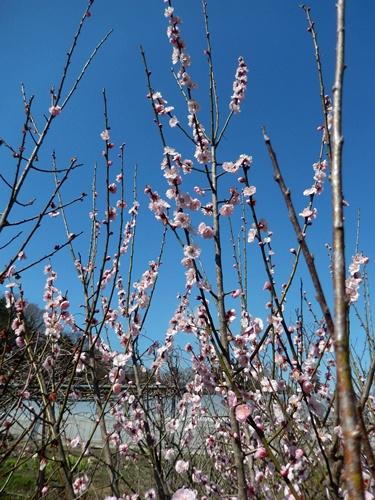 2014.3.21 お彼岸 (野菜の花) 034 (4)