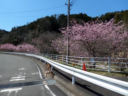 2014.3.22 河津桜 (久留里) 039 (3)