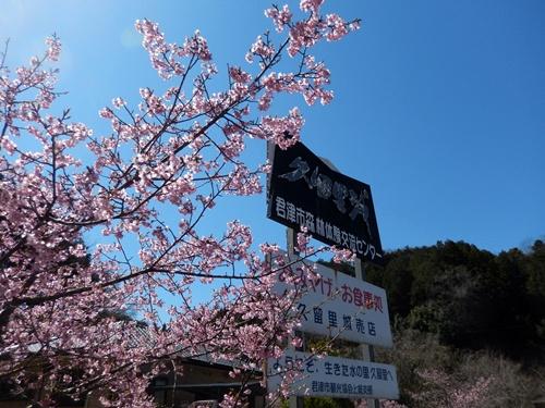 2014.3.22 河津桜 (久留里) 039 (2)