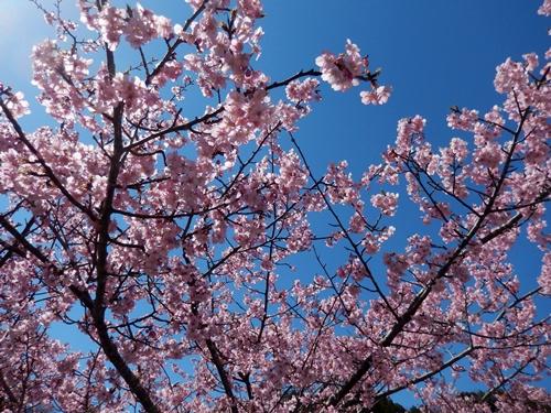 2014.3.22 河津桜 (久留里) 039 (1)