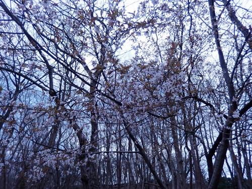 2014.3.29 山桜 (開花) 010