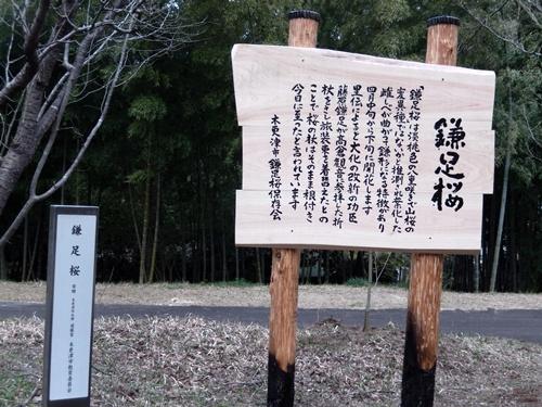 2014.3.29 鎌足桜 (看板) 008 (1)