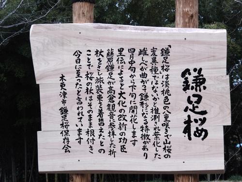 2014.3.29 鎌足桜 (看板) 008