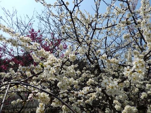 2014.3.29 アンズ (開花) 004 (2)