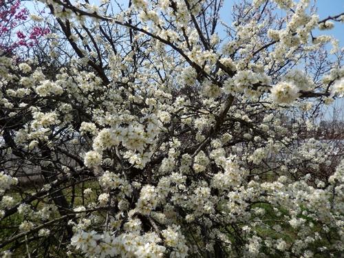 2014.3.29 アンズ (開花) 004 (1)