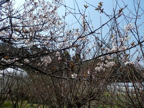 2014.3.29 アンズ (開花) 004