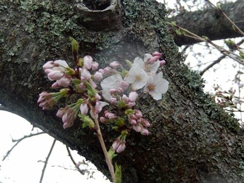 2014.3.30 桜 (開花) 004