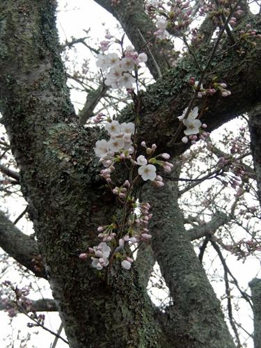 2014.3.30 桜 (開花) 003