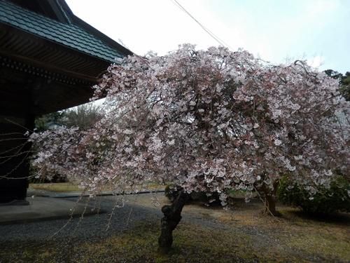 2014.4.2 桜開花 (徳蔵寺) 011