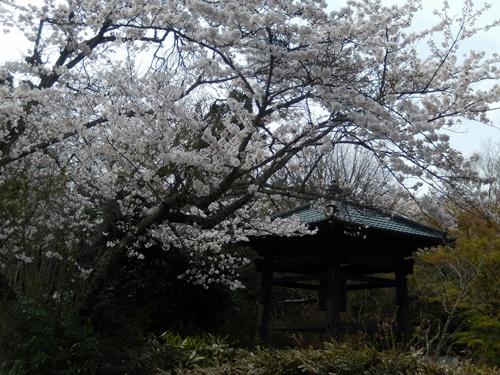 2014.4.2 桜開花 (徳蔵寺) 009