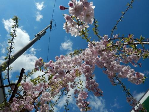 2014.4.5 桜 (ほたる野) 032 (2)