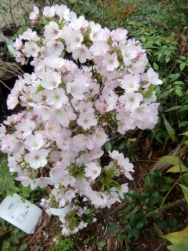 2014.4.10 庭の桜の苗 (自宅) 018 (2)