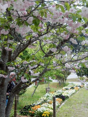 2014.4.26 鎌足公民館 (鎌足桜) (55)