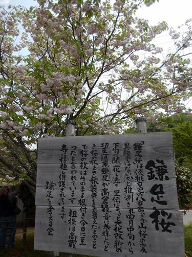 2014.4.26 鎌足公民館 (鎌足桜) (54)