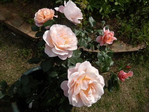 2014.5.21 春のバラ園 027 (2)