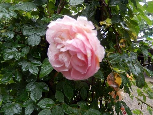 2014.5.21 春の雨 001 (9)