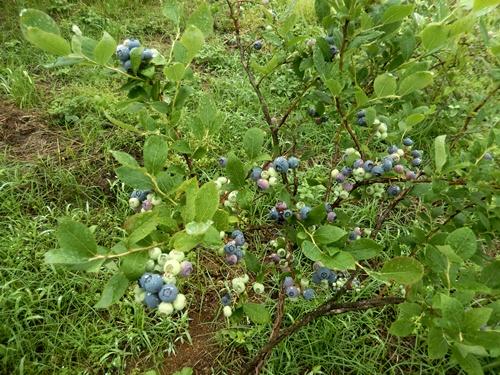 2014.6.8 ブルーベリー収穫 006