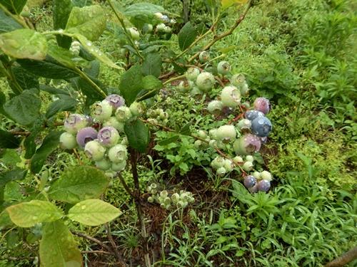 2014.6.8 ブルーベリー収穫 005