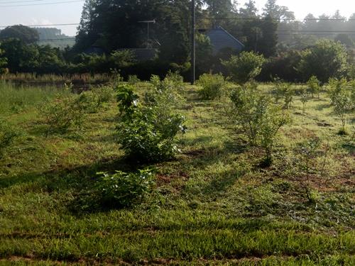 2014.6.19 ブルーベリー園草刈 020 (2)