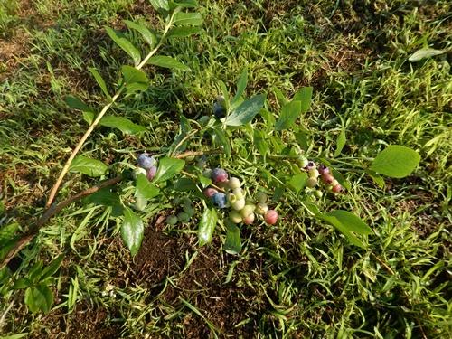 2014.6.19 ブルーベリー園草刈 020 (6)