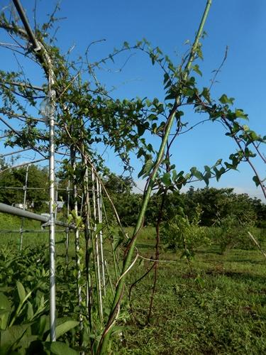 2014.6.19 ブルーベリー園草刈 020 (4)
