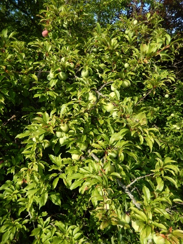2014.6.21 果樹園の果樹たち 062 (6)