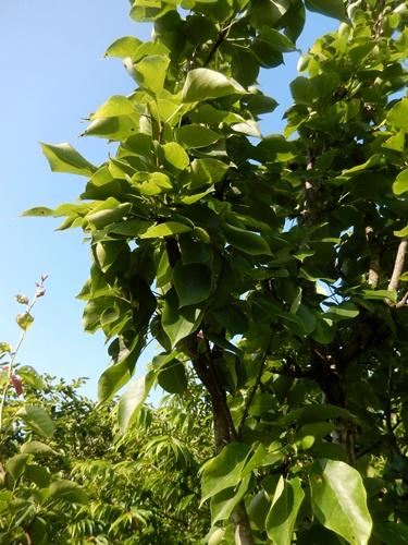 2014.6.21 果樹園の果樹たち 062 (5)