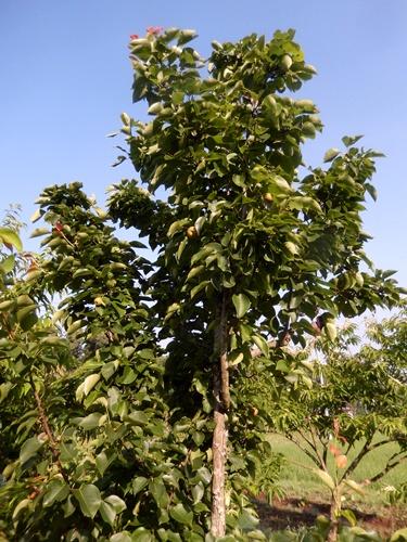 2014.6.21 果樹園の果樹たち 062 (4)