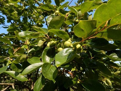 2014.6.21 果樹園の果樹たち 062 (2)